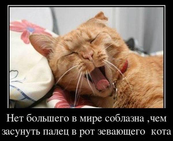 Нет большего в мире соблазна, чем засунуть палец в рот зевающего кота