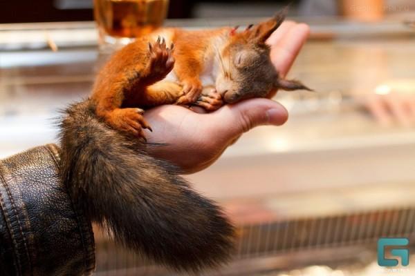 Белка спит на руке