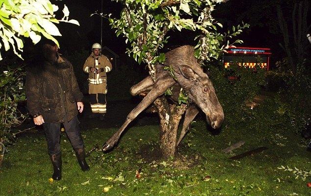 пьяный лось в яблоне