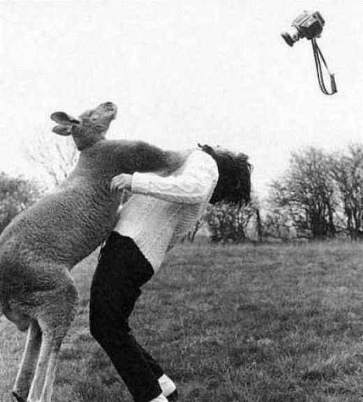 Снимаешь кенгуру? Будь осторожен!