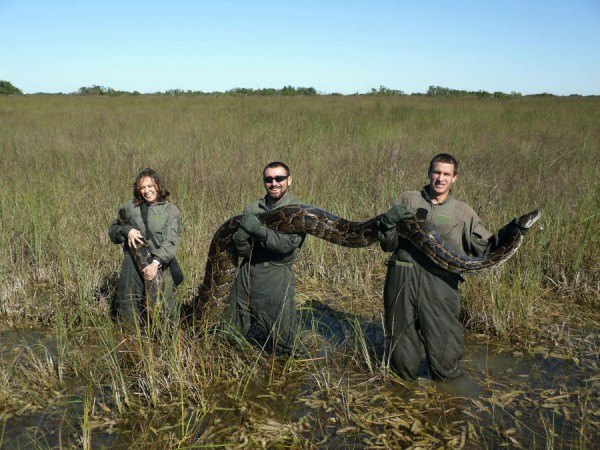 Everglades Pythons (AP Photo/ University of Florida, Michael R. Rochford)