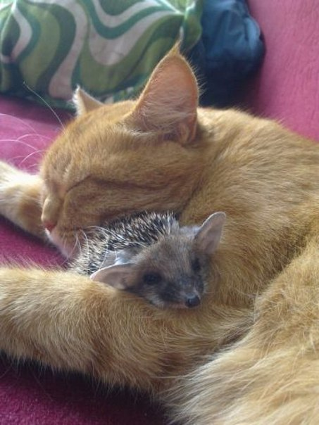 кошка спит с ежиком