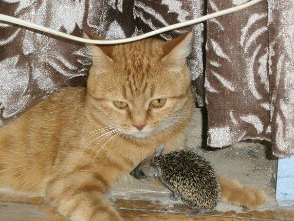 кошка и еж