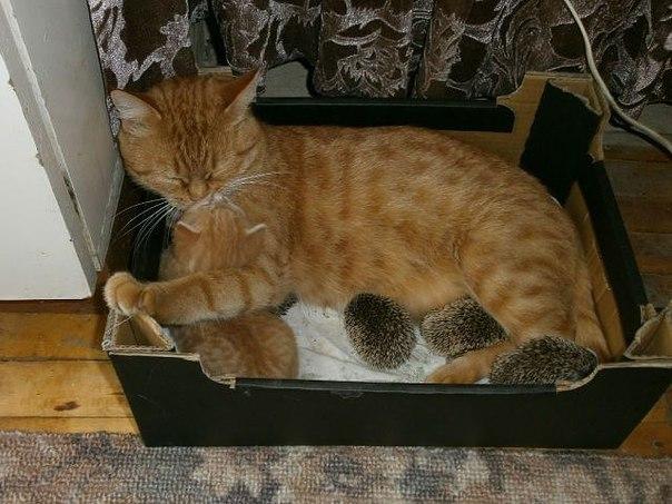 Кошка, котенок и 4 ежика отдыхают