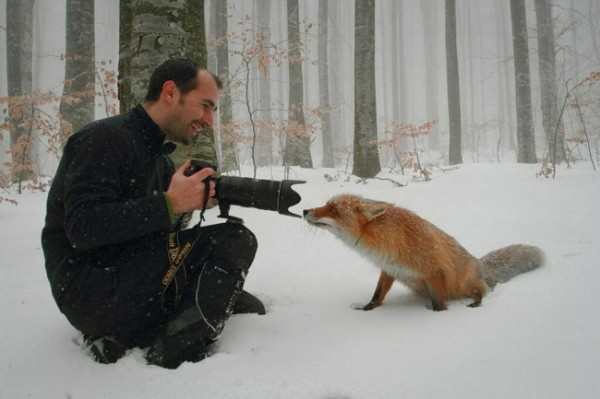 Любопытная лисица-сестрица