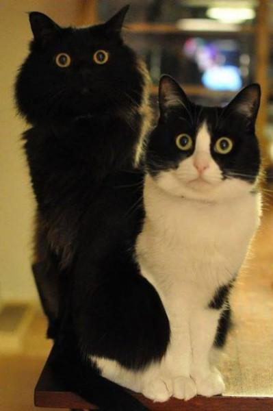 коты черные красавцы
