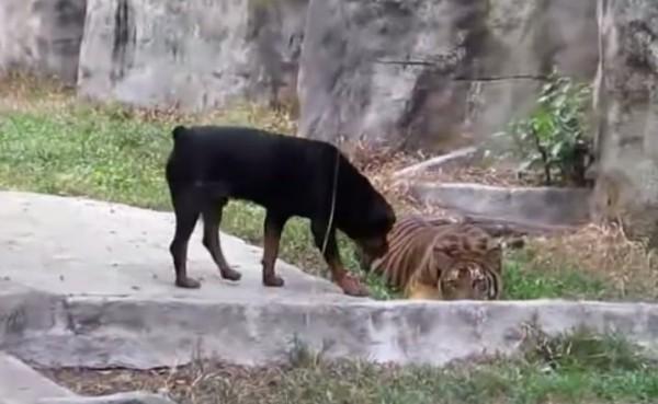 Тигр и собака, тигр не хочет нападать!