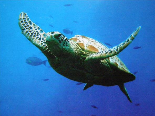 Черепаха Caretta-Caretta