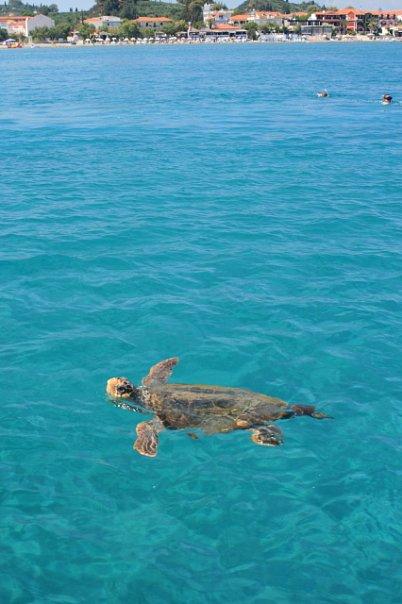 Большая черепаха в Закинфе