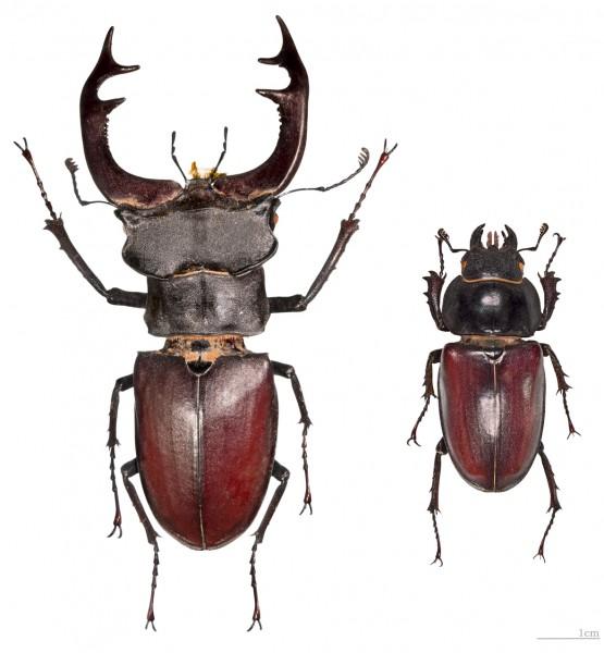 жук олень самец, жук-олень самка фото