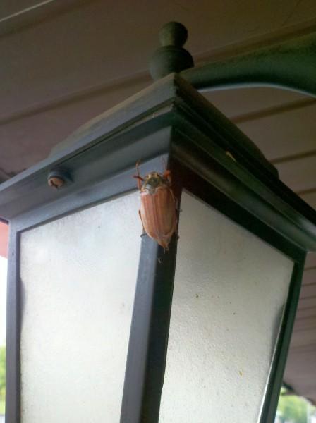 майский жук 2015