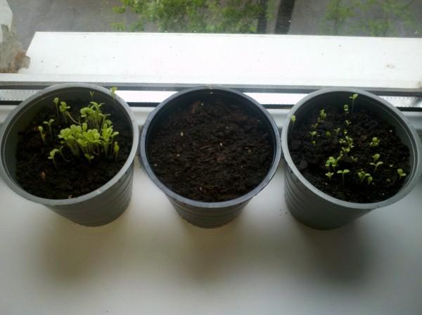 ростим салат в квартире, день 5