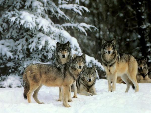 волки, зимнее фото фолков