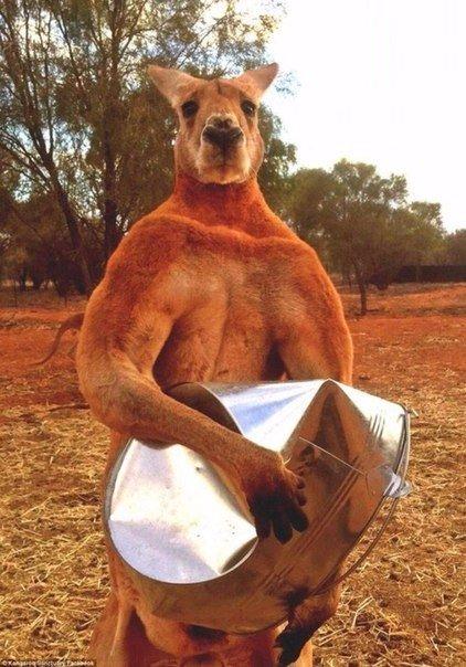 кенгуру гнет ведро
