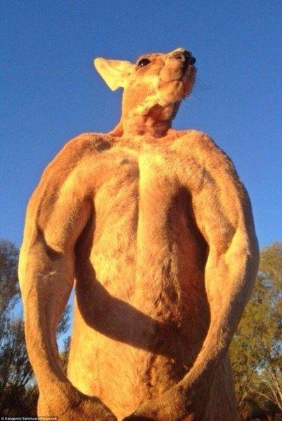 кенгуру качок