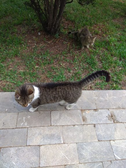 кот великан Анталия Турция