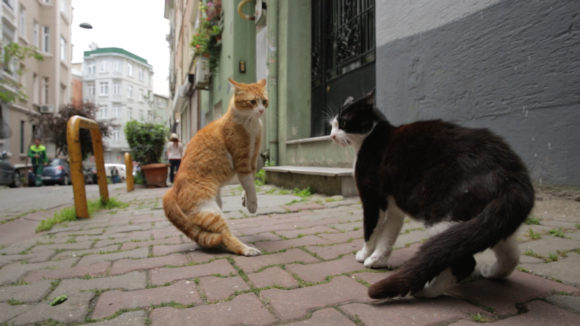 Gamsiz кот защищает свою территорию