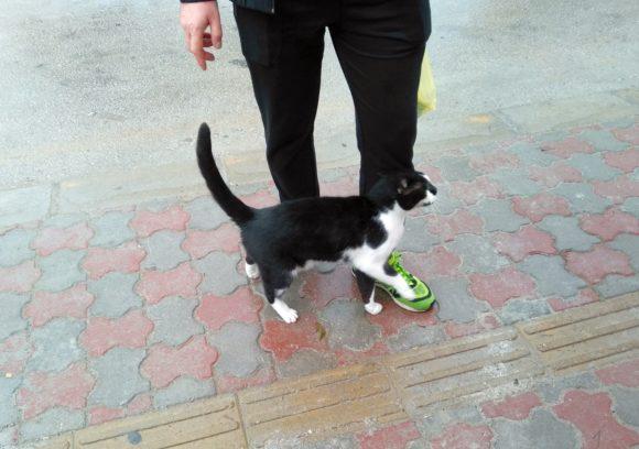 Göynük cat, черно-белый кот в Гейнюке Турция