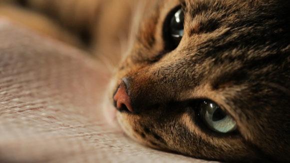 Kedi - кот