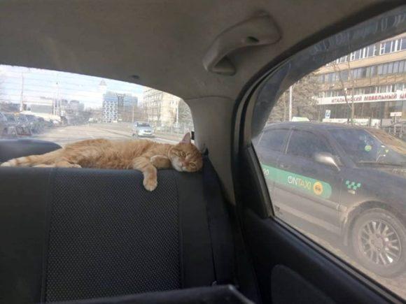 кот-таксист Киев