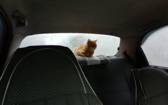 кот на задней полке такси