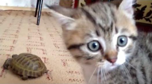 котенок и черепаха битва