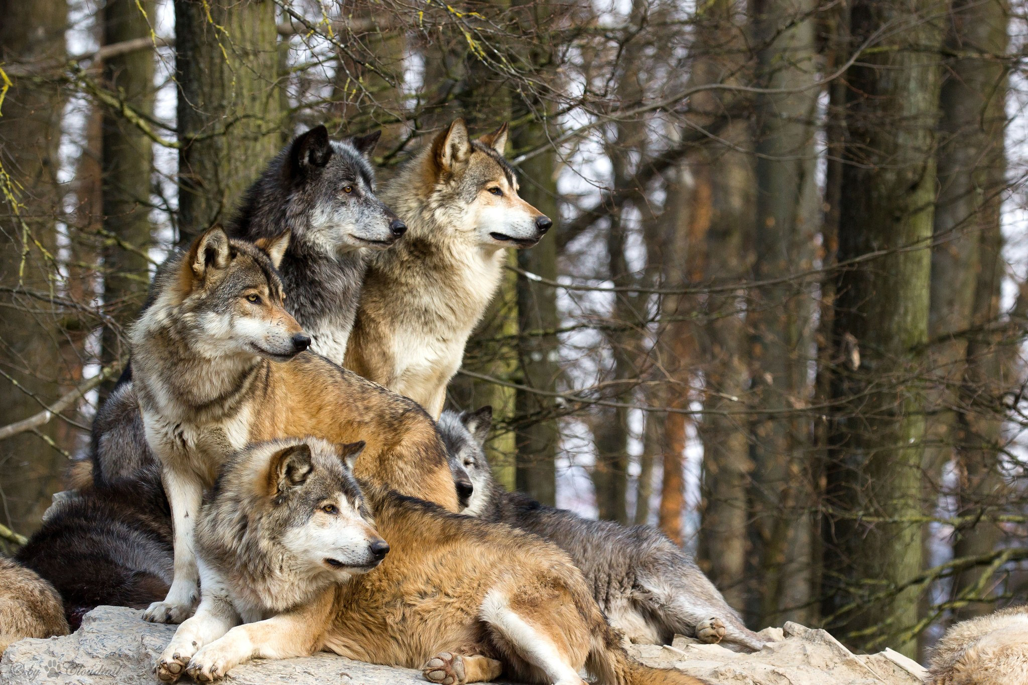 волки красивые картины фото говоря, митхуна особенным